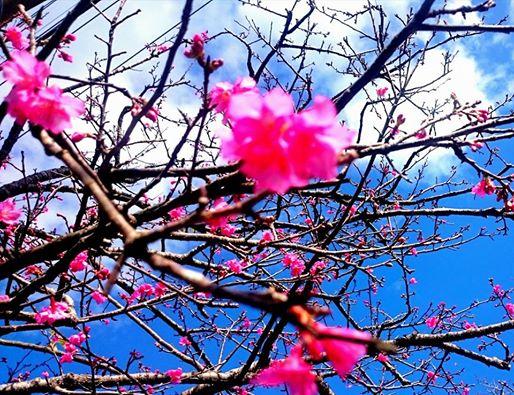 日本一早く咲く桜
